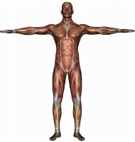 muscle anatomy man